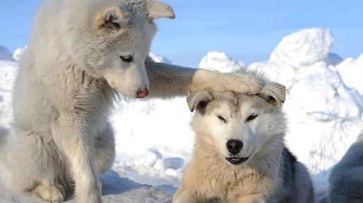 Lobos brancos na neve